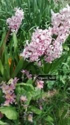 Hyacint_Terka