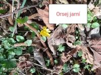 Orsej jarní_Sára